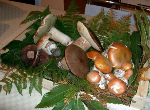 Liguria funghi raccolta 2012